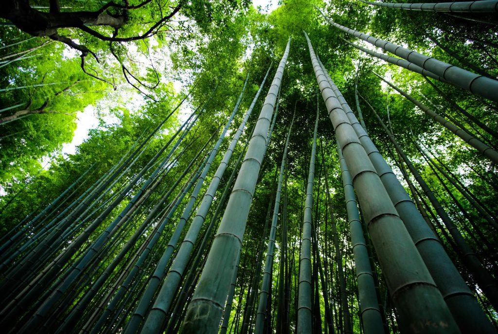 origen del bambu