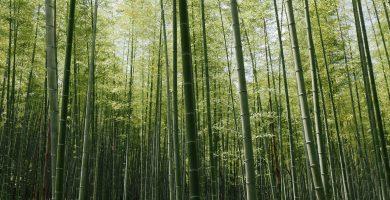 agricultura del bambu